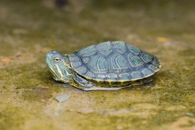 Mały żółwik w wodzie w tropikalnym ogrodzie
