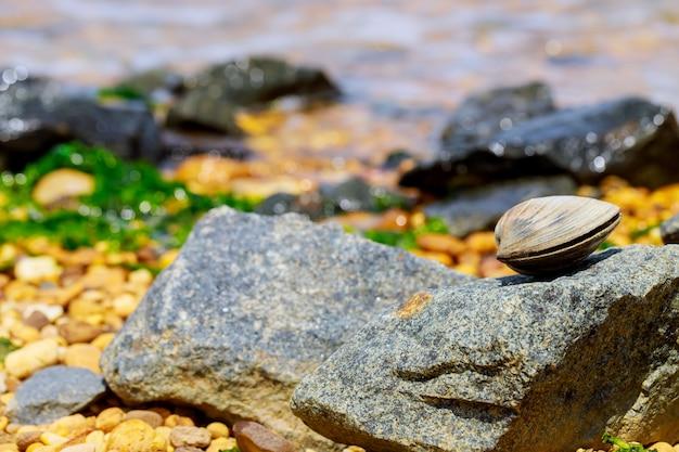 Małż leżący na kamieniu nad brzegiem morza.