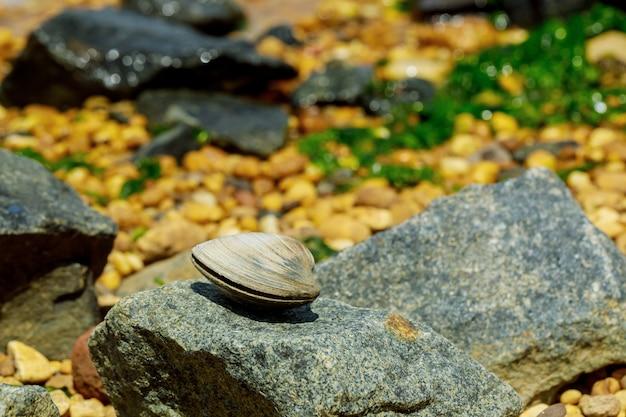 Małż leżący na skale na plaży.