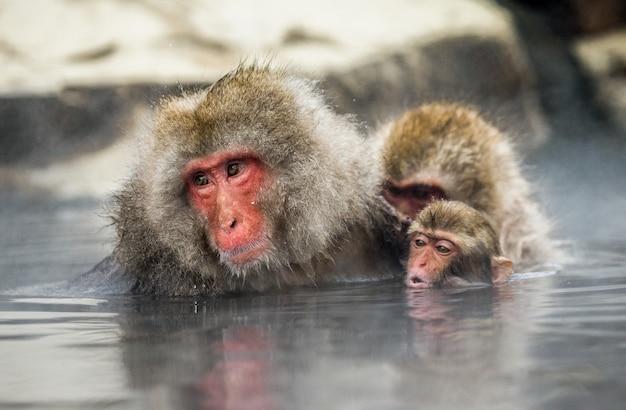 Mama i niemowlę japońskie makaki siedzą w wodzie w gorącym źródle. japonia. nagano. jigokudani monkey park.