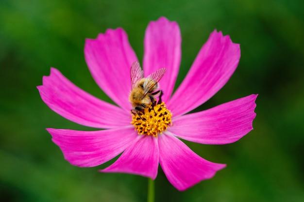 Mamrocze pszczoły na kwiatu zbierackim nektarze i zapylać, zbliżenie makro-