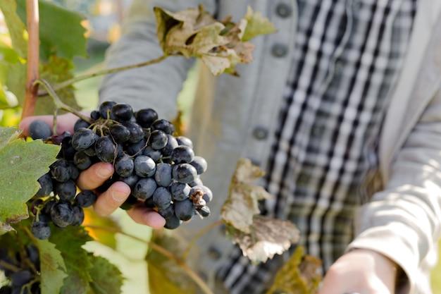 Man upraw dojrzałych kiść czarnych winogron na winorośli. mężczyzna ręce zbieranie zbiorów winogron jesienią do produkcji wina w winnicy.