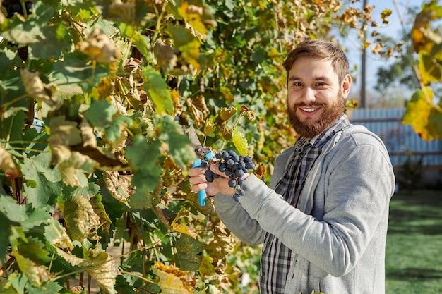 Man upraw dojrzałych kiść czarnych winogron na winorośli. vintner mężczyzna zbierając jesienne zbiory winogron do produkcji wina w winnicy. cabernet sauvignon, merlot, pinot noir, gatunek winogron sangiovese.