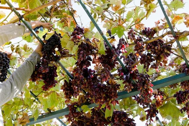 Man upraw dojrzałych kiść czerwonych winogron na winorośli. vintner mężczyzna zbierając jesienne zbiory winogron do produkcji żywności lub wina w winnicy. rodzaj winogron czerwonych bez pestek.