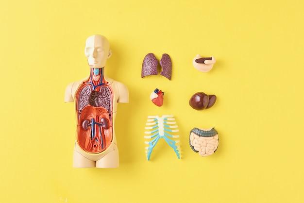 Manekin anatomiczny człowieka z narządami wewnętrznymi