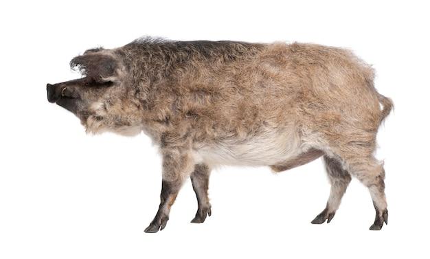 Mangalitsa lub kręcone włosy wieprz na białym na białym tle. jest to rasa świni uprawiana zwłaszcza na węgrzech i na bałkanach
