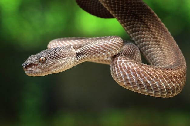 Manggrove pit viper węża zbliżenie twarzy