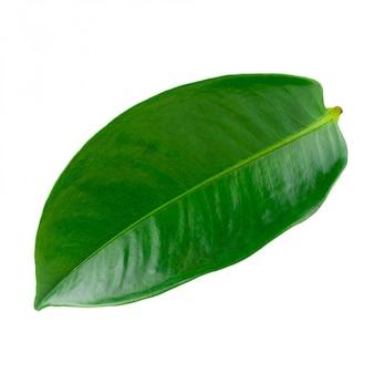 Mangostan liście odizolowywający na białym tle