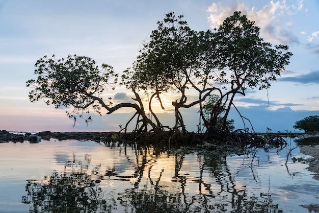 Mangrove sunset, zrobione na neil island, andaman islands, indie. sylwetka drzew przed zachodem słońca na błękitnym, fioletowym niebie. piękny zachód słońca. piękne gałęzie drzew w wieczornym świetle. zwiedzanie wybrzeża morskiego