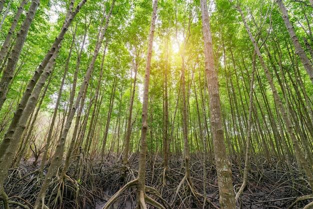 Mangrowe Intung Prong Pasek Lub Złoty Namorzynowy Pole Przy Ujściem Pra Sae, Rayong, Tajlandia Premium Zdjęcia