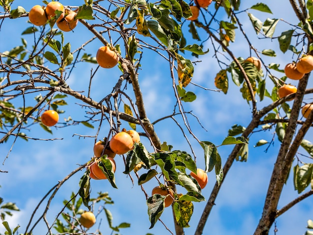 Manilkara kauki to roślina z podrodziny sapotoideae i plemienia sapoteae z rodziny sapotaceae; i jest gatunkiem typowym dla rodzaju manilkara. znany ogólnie pod nazwą caqui.