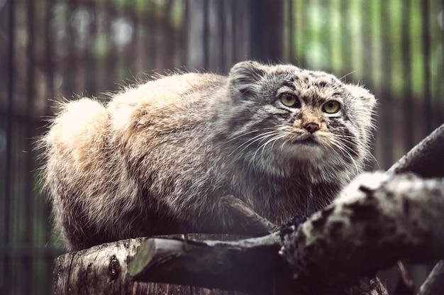 Manul azjatycki dziki kot z bliska zdjęcie. rzadkie zwierzę na skraju wyginięcia.