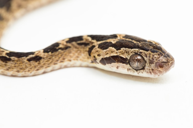 Manyspotted cat snake boiga multomaculata na białym tle