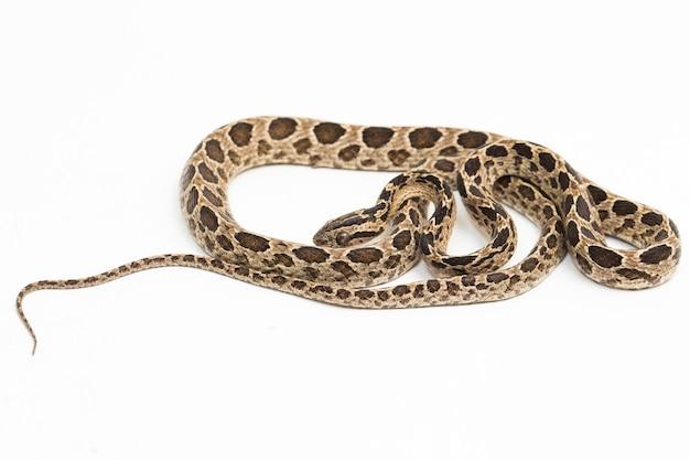 Manyspotted Cat Snake Boiga Multomaculata Na Białym Tle Premium Zdjęcia