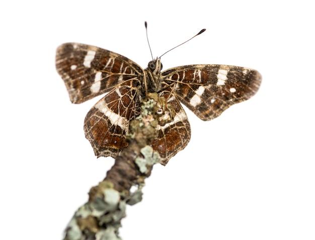 Mapa motyl na gałęzi widziana z dołu, araschnia levana, samodzielnie na białym tle