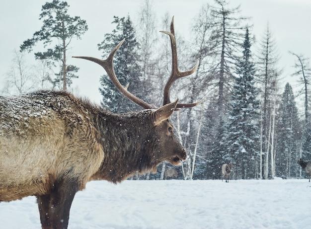 Maral jeleń rogaty samiec na zimowej leśnej polanie na tle swojego stada