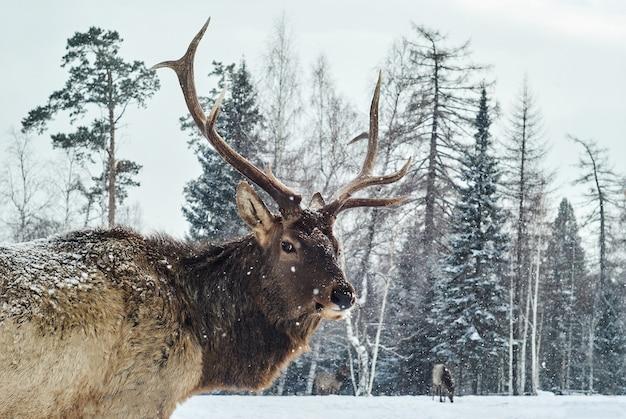 Maral rogaty samiec na zimowej leśnej polanie na tle swojego stada
