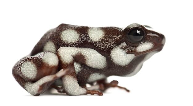Maranon poison frog lub rana venenosa, ranitomeya mysteriosus, na białej powierzchni