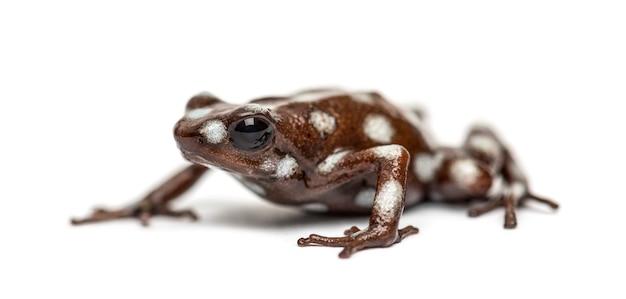 Maranon trucizna żaba, excidobates mysteriosus, na białym tle
