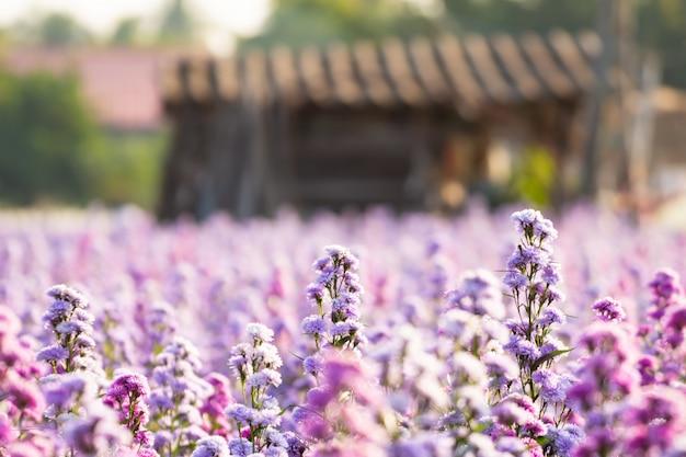 Margaret farm kwitnie w naturalnym świetle. kwiaty kwitną w ogrodzie