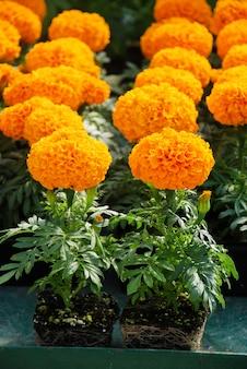 Marigolds orange color (aksamitka erecta, nagietek meksykański, nagietek aztecki, nagietek afrykański), nagietek doniczkowy z korzeniami