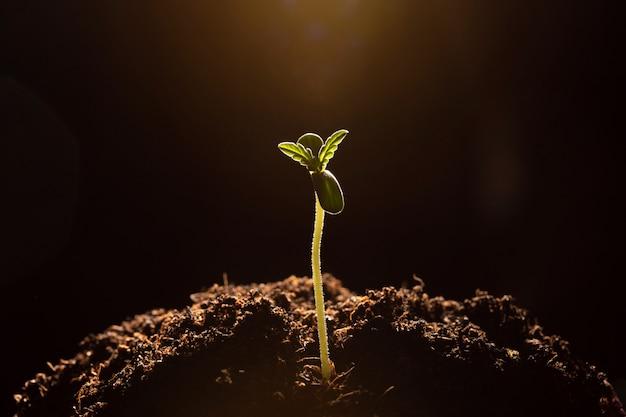 Marihuana kiełkuje w glebowym zakończenia ciemnym tle