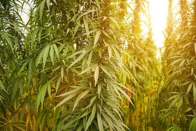 Marihuana opuszcza rośliny konopi na tle farmy o zachodzie słońca