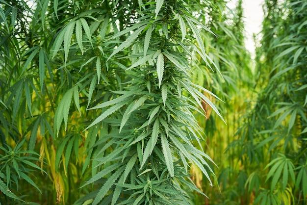 Marihuana pozostawia rośliny konopi na tle farmy