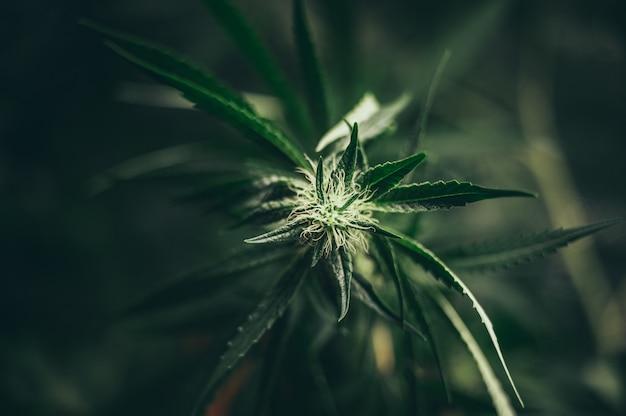 Marihuana pozostawia rośliny marihuany w uprawie chwastów konopnych