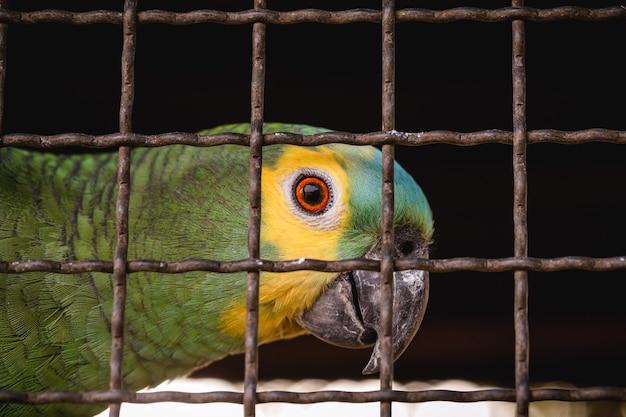 Maritaca, brazylijski ptak z gatunku papug. uwięzione zwierzę, przemyt i nielegalna sprzedaż dzikich zwierząt