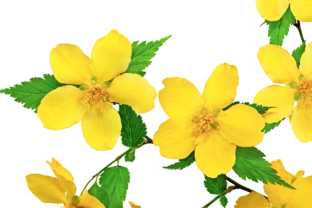 Marsh marigold żółte kwiaty na białym tle.