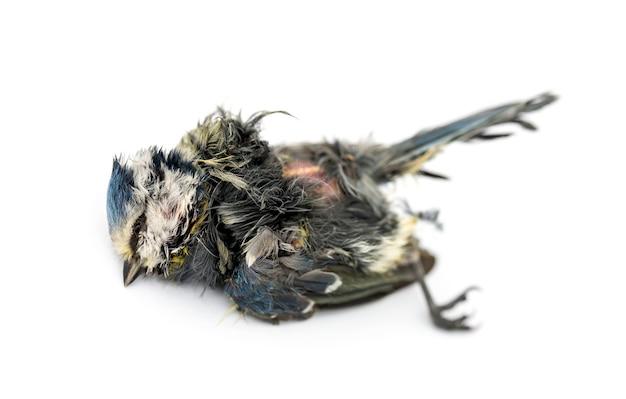 Martwa modraszka leżąca na plecach, w stanie rozkładu, cyanistes caeruleus, na białym tle