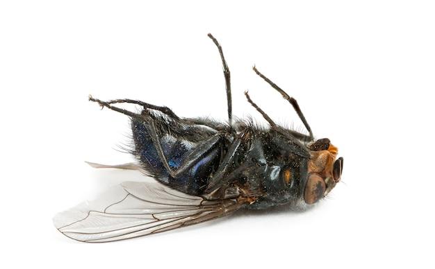 Martwa mucha leżąca na plecach, na białym tle