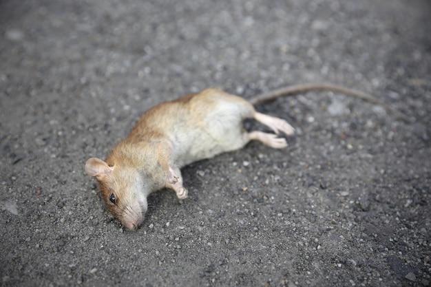 Martwa mysz na drodze
