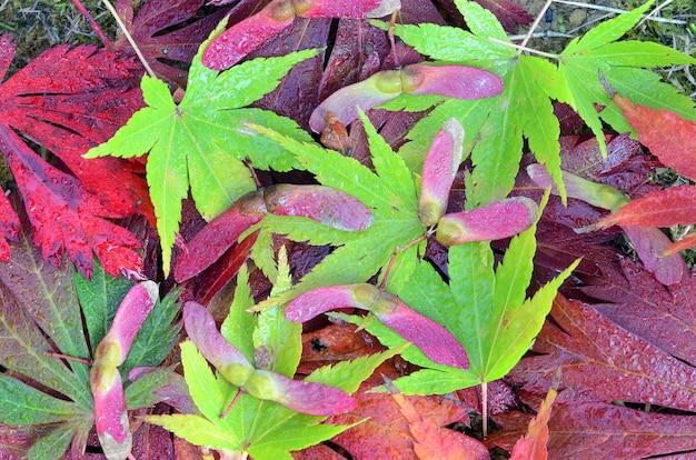 Martwa natura utworzona z liści i owoców różnych klonów w kolorach czerwonym i zielonym sfotografowana jesienią