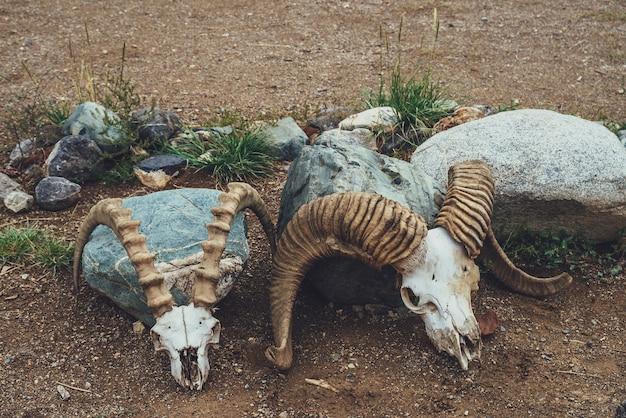 Martwa natura z dwiema krowimi czaszkami z dużymi rogami z bliska. tło z czaszkami krów w stylu vintage. zbliżenie szkieletów zwierząt na pustyni. kolekcja kości zwierzęcych. ozdoba z dwiema czaszkami.
