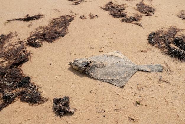 Martwa płastuga na piasku nad brzegiem morza