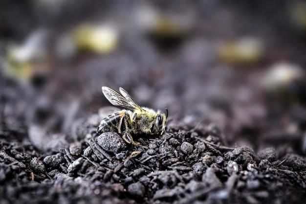 Martwa pszczoła upadła na ziemię po zastosowaniu pestycydów