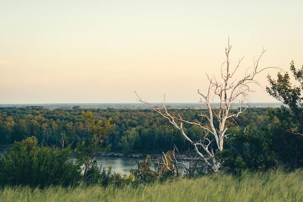 Martwa, sucha suka stoi wśród zieleni. martwe drzewo klifem nad rzeką.