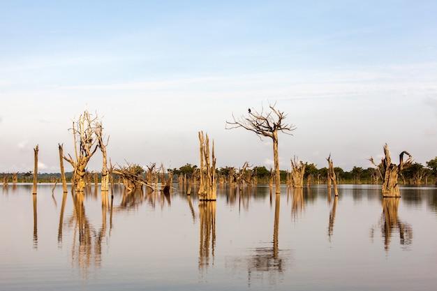Martwe drzewa na igarape nad rzeką amazonką