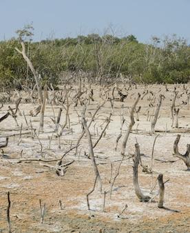 Martwe drzewa namorzynowe w lecie
