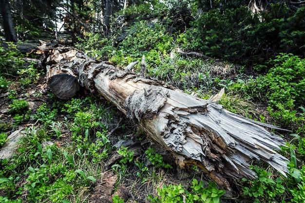 Martwe drzewo w głębokim lesie.