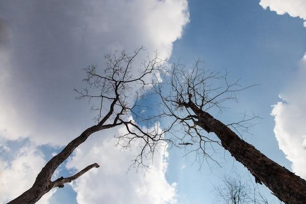 Martwe stojące drzewo tło błękitne niebo i chmury.