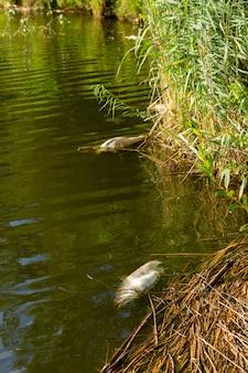 Martwe zgniłe ryby na brzegu zanieczyszczonego jeziora. ryba nie może wytrzymać nienormalnego ciepła i umiera z powodu braku tlenu.