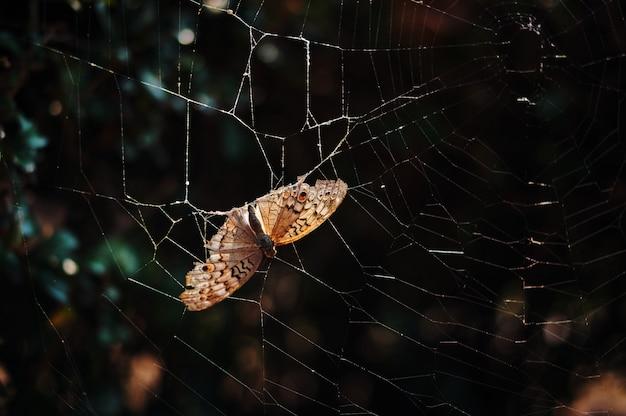 Martwy brązowy motyl utknął na pajęczynie