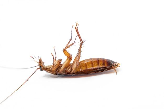 Martwy karaluch na białym tle