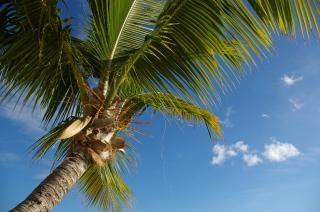 Martynika wakacje, palmer