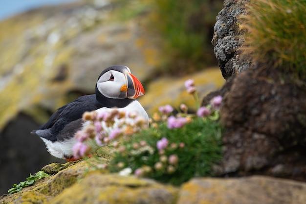 Maskonur atlantycki siedzący latem na skalistym klifie
