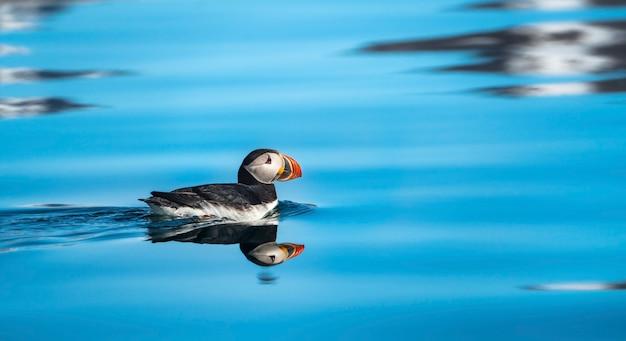 Maskonur atlantycki w wodzie