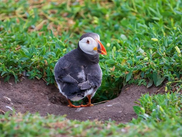 Maskonur przebywa w pobliżu swojego gniazda w dziurze na wyspach farne w anglii w okresie letnim